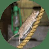 שירות - הדברת עכברים וחולדות