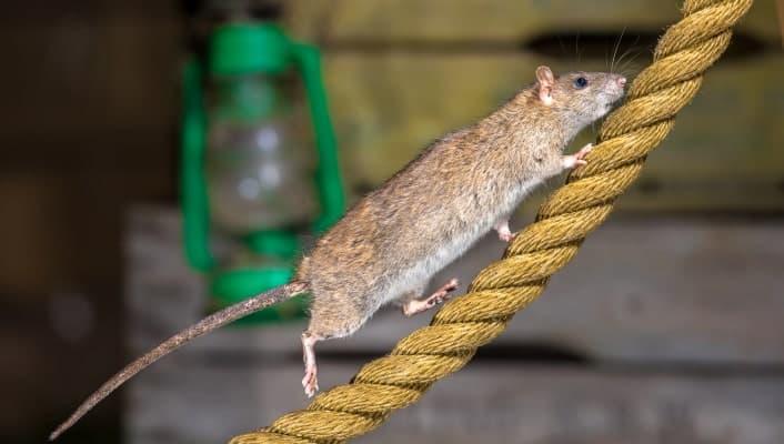 הדברת עכברים וחולדות